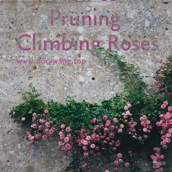 How to Pruning Climbing Roses